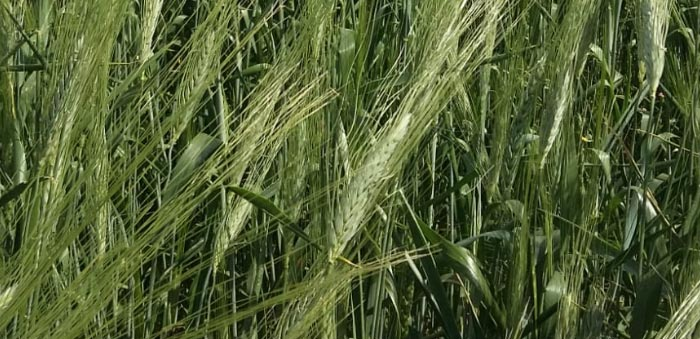 Adopt a wheat field in Guadalajara, choose its name and receive its organic flour at home.