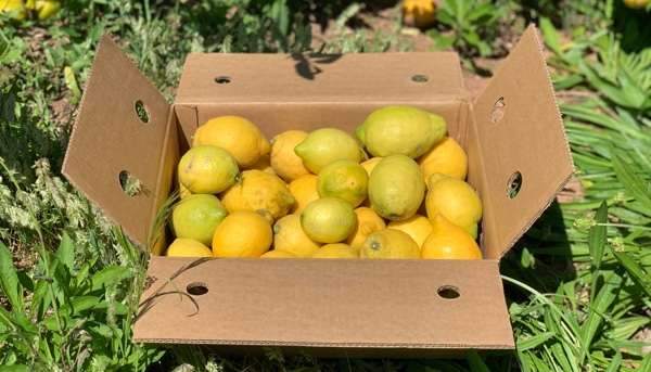 Adopt a lemon tree in Murcia, name it and receive its harvest of organic lemons at home.