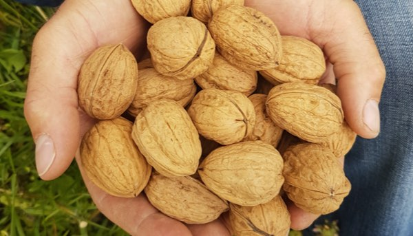 Adopt a walnut tree in France, name it and receive its harvest of nuts at home.